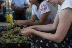 Raccolta dell'uva da essiccare