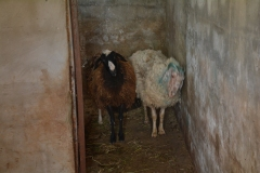La stalla delle pecore