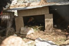 Anatra che cova