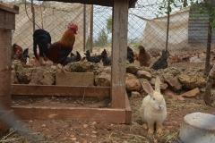 Gallo in mostra