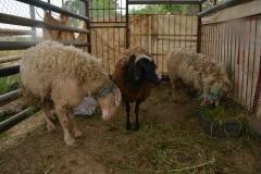 Pecore all'aperto
